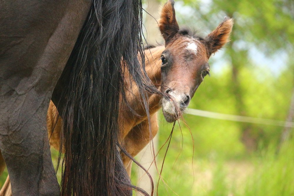 Foal peeking head around mare.