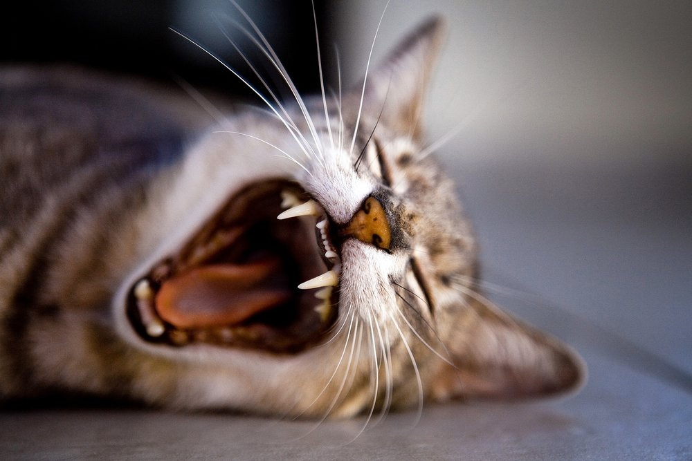 Cat yawning and showing teeth