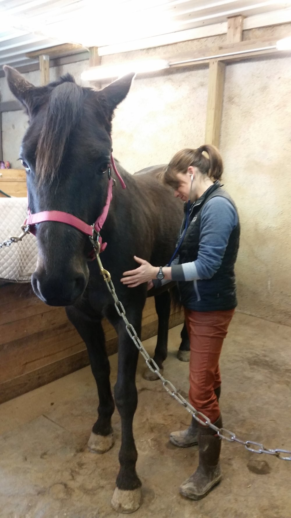 Dr Toria Waldron of Badger Equine Veterinary Services listens to horse's heart.jpg