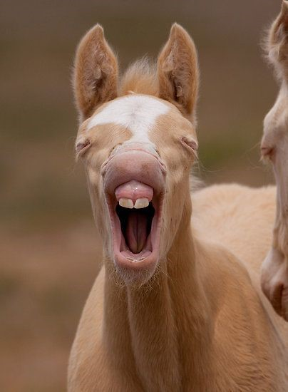 Healthy foal smiling with big teeth