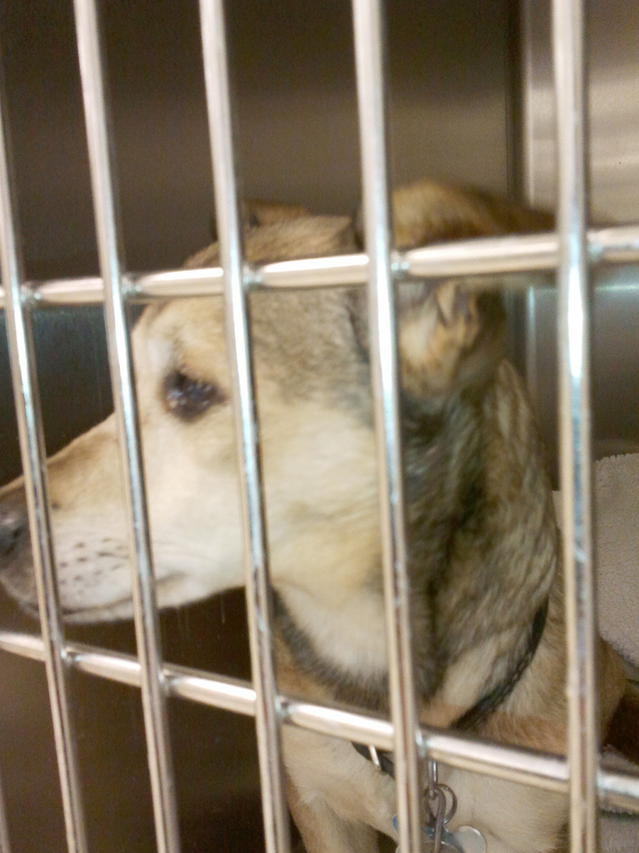 Wiggles in recovery at Badger Veterinary Hospital