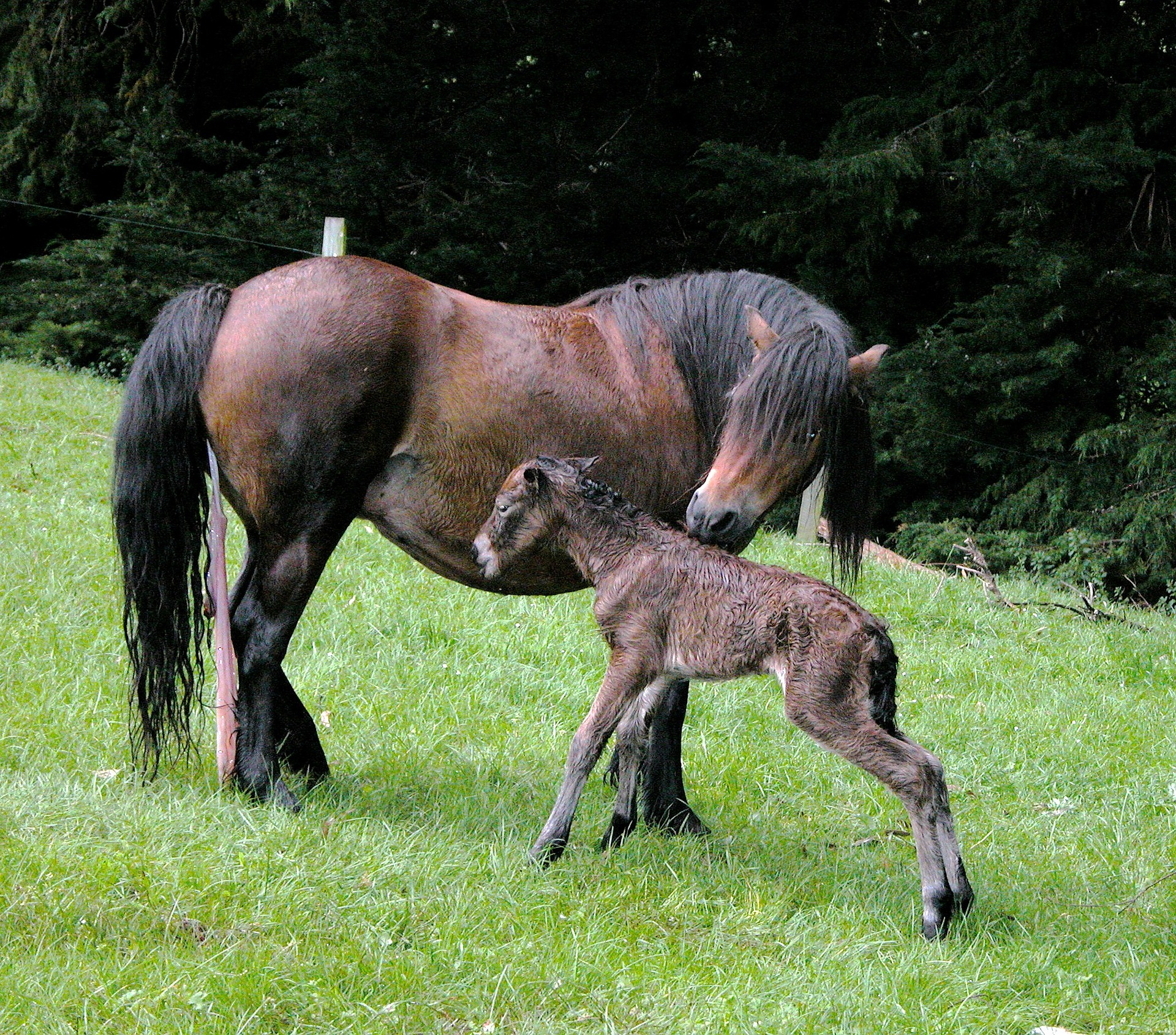 Mare with foal and review of dystocia triage.