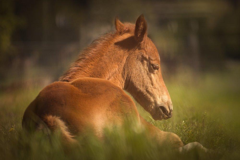Foal health, Neonatal Sepsis
