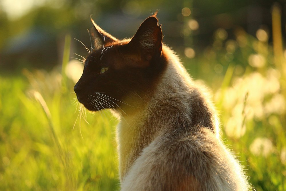 Outdoor cat, feline immunodeficiency virus (FIV)