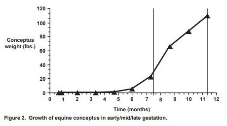 Growth of equine conceptus