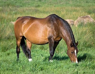 pregant horse.jpg
