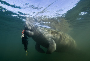manatee-eating-shirt-300x202.jpg