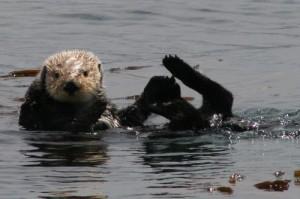 sea-otter-300x199.jpg