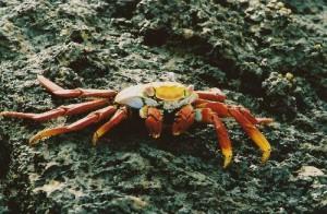 galapagos-crab-300x196.jpg
