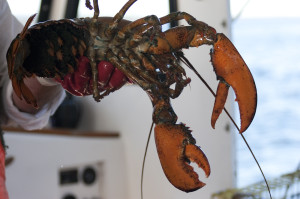 female-lobster-300x199.jpg