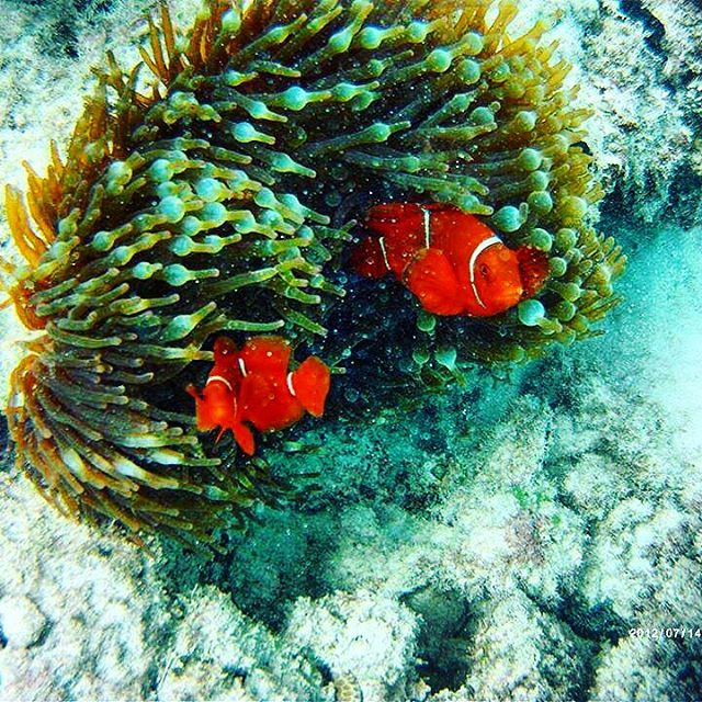 Did you know that some species of clownfish have a symbiotic relationship with anemones? The anemone provides a safe home for the clownfish to live. Meanwhile, the fish clean the anemone, provide nutrients, and scare away potential predators. NAMEPA's Education and Outreach Manager, Nina, took this picture at the Great Barrier Reef in Australia! @ausmepa #saveourseas