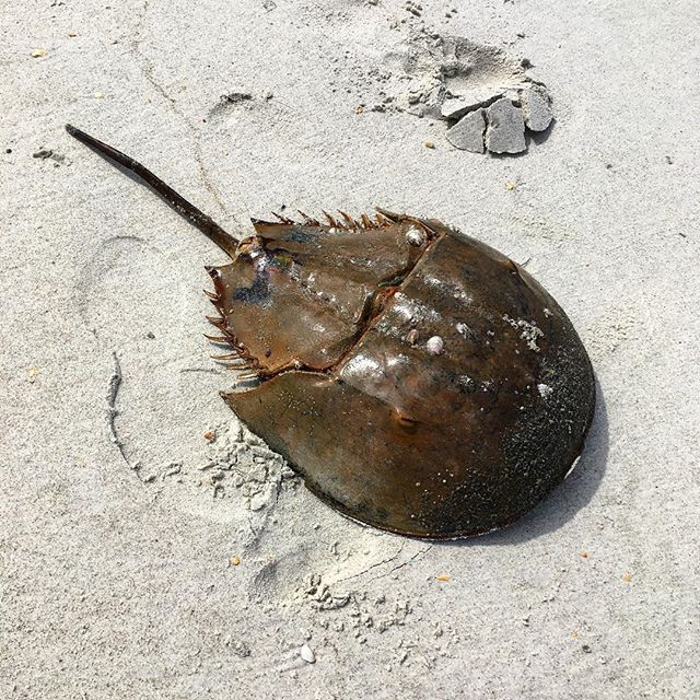 Happy #WorldWildlifeDay! Today we celebrate the conservation of all species, like this horseshoe crab! What's your favorite plant or animal? #SaveOurSeas
