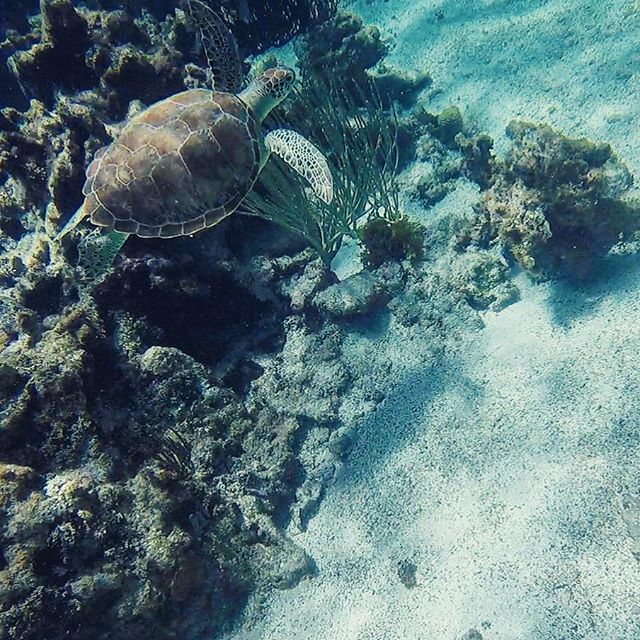 HAPPY WORLD TURTLE DAY 🌎🐢 our Education and Outreach Manager snapped this photo of a Green Sea Turtle just a few months ago 💙🐢🌎 #worldturtleday #greenseaturtle #saveourseas