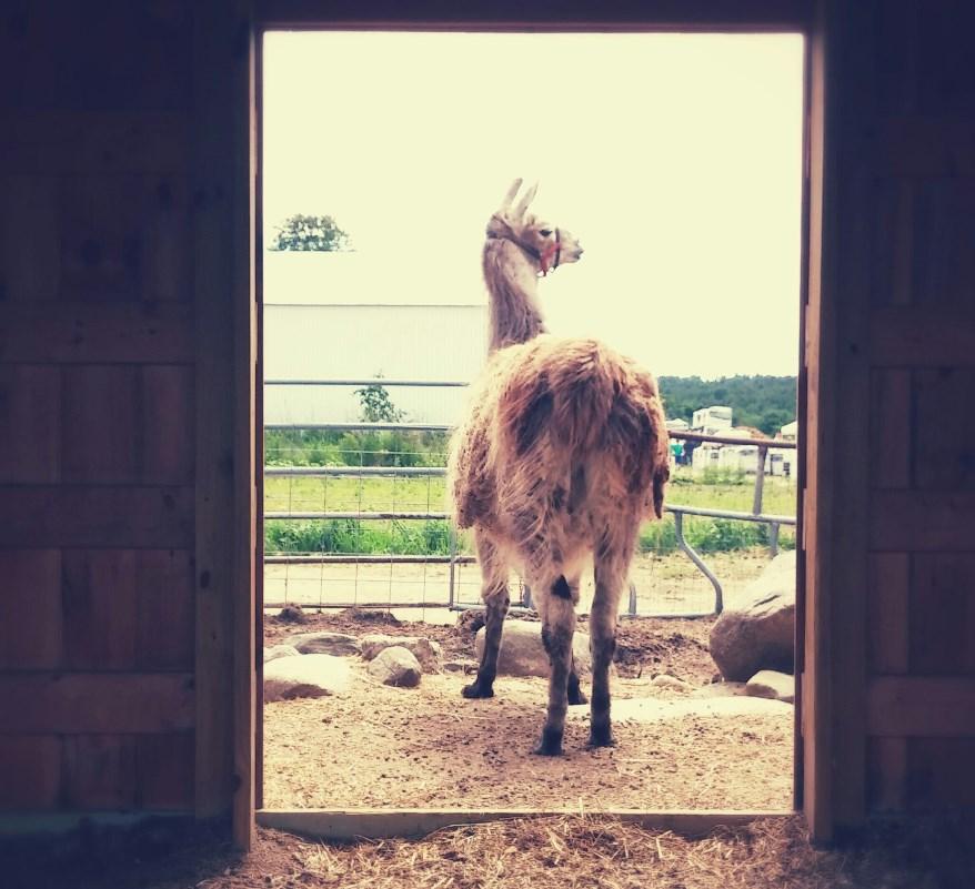 llama-new-1.jpg