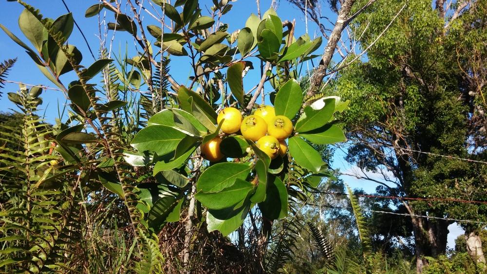 Pineapple guava- everywhere!