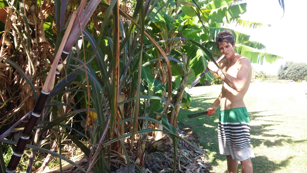 Snacking on sugar cane.