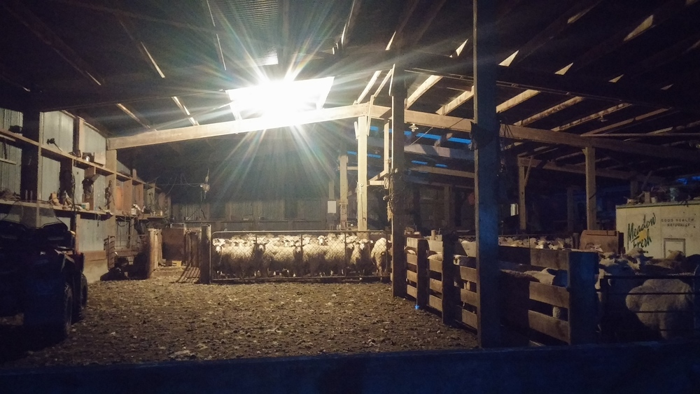 The ewes ready to go in the wee morning hours.