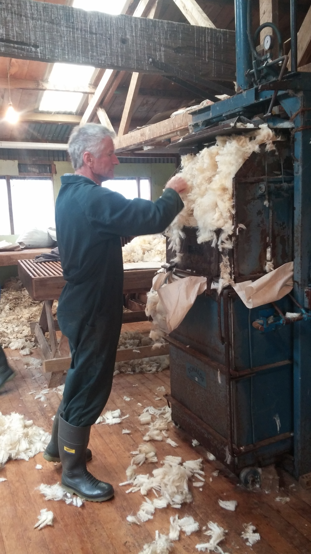Ron, the farmer, shoving the wool into the press. Got 5 bails of wool from the shearing!