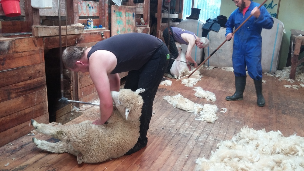 We were the shed hands. Sweeping up the wool as it was sheared off the sheep.