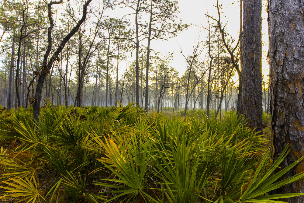 Morning Fog at Camel Lake Campground, Apalachicola National Forest, Florida, USA