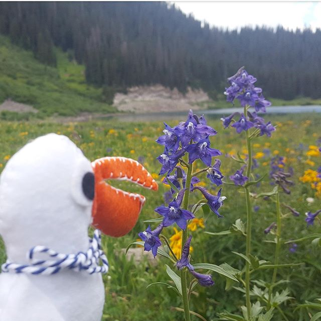 What's your favorite color flower? Putih's enjoying purple and yellow today next to Emerald Lake, Colorado! Sometimes you have to stop and smell the flowers🌺🌻🌹🌷🌼🌸 #adventureswithputih