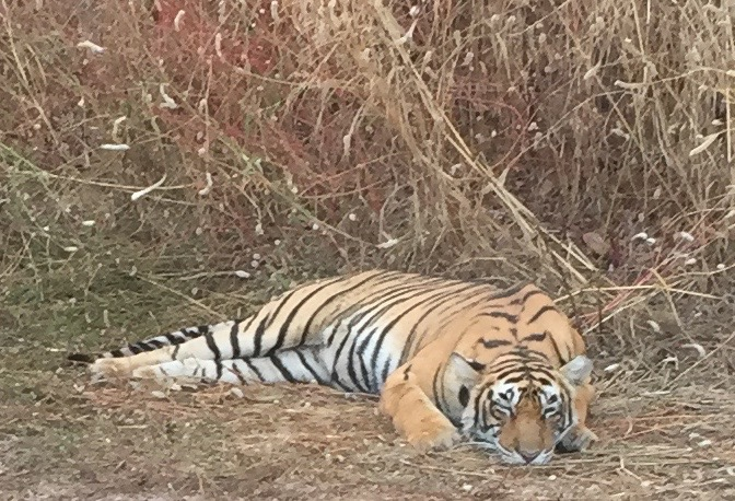 Resting Bengal Tiger