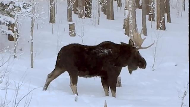 moose in winter on the back mountain.jpg