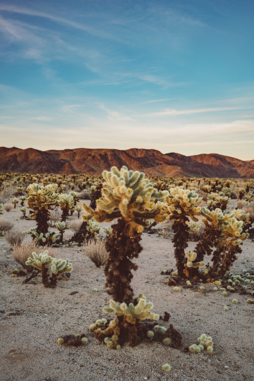 Cholla Cactus Garden Joshua Tree