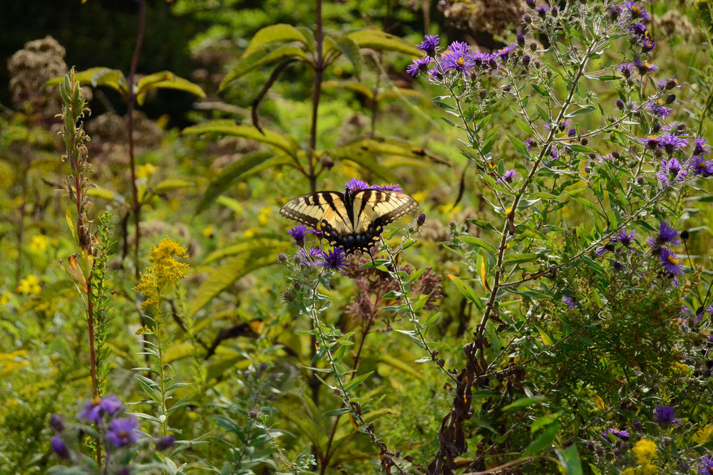 Tiger Swallowtail in Meadow | Middle Creek | September 20, 2016 | © 2016 Jessica Allen