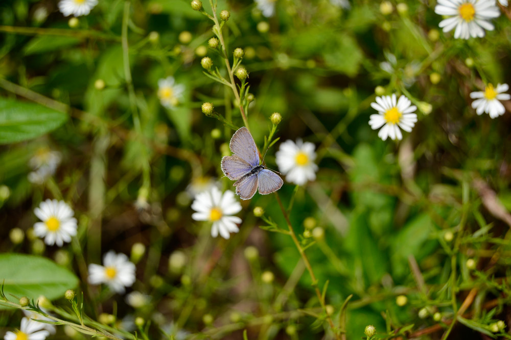 Eastern Tailed Blue (Male)