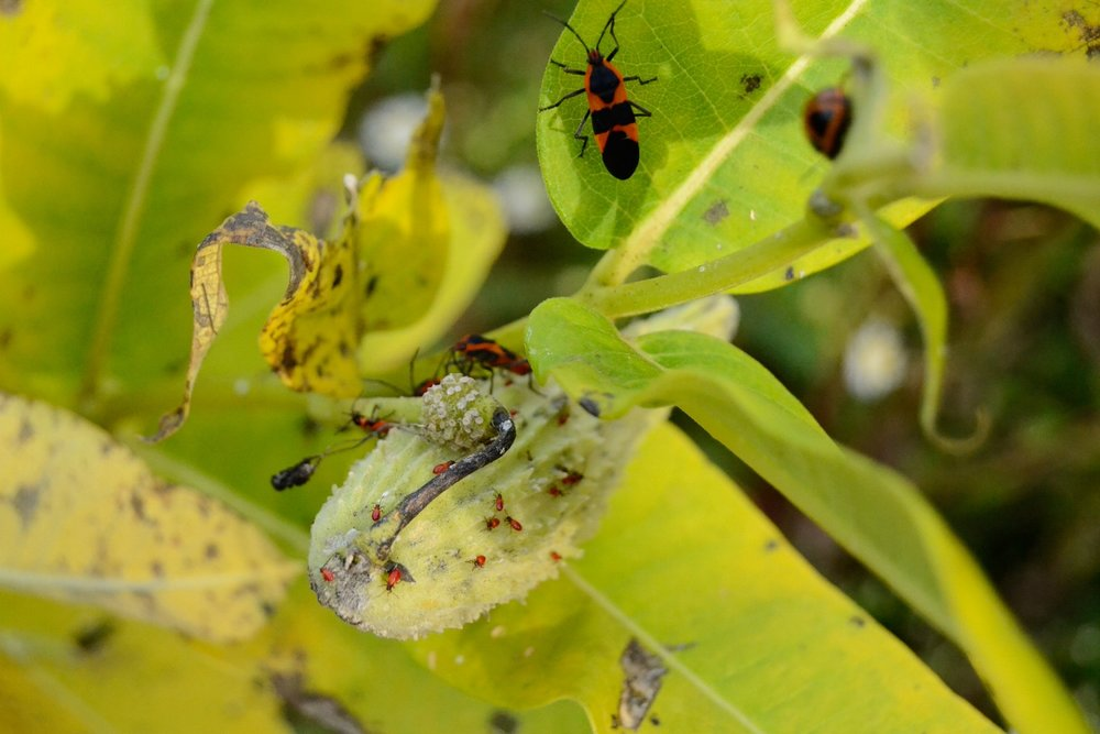 Large Milkweed Bug (Adults, Nymphs and Eggs) | Middle Creek | September 20, 2016 | © 2016 Jessica Allen