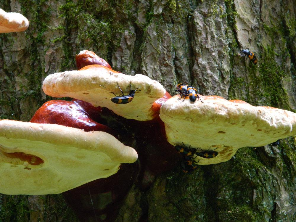 Pleasing Fungus Beetles (Megalodacne heros)