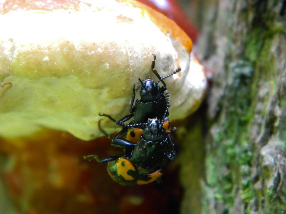 Pleasing Fungus Beetle (Megalodacne heros)
