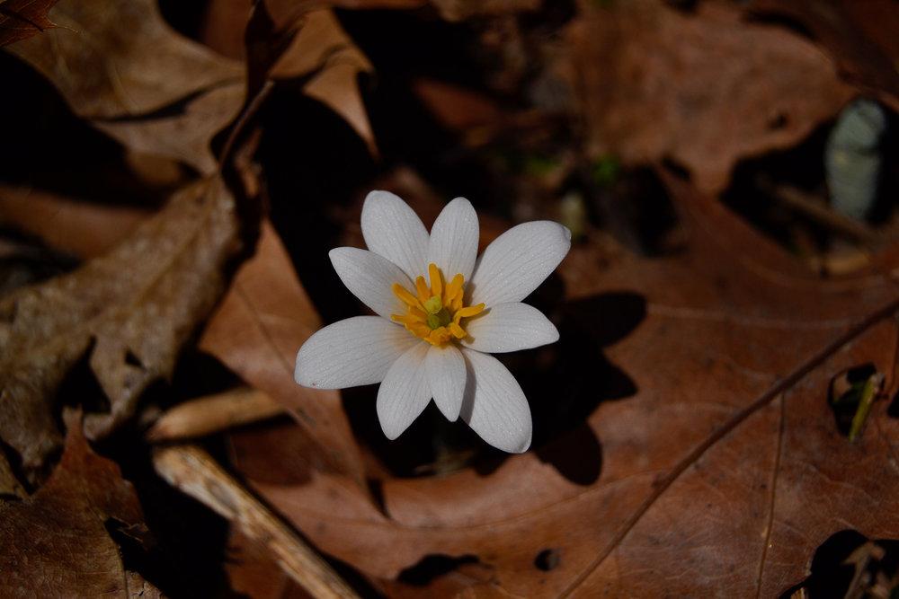Bloodroot (Sanguinaria canadensis) | Quittie Creek Nature Park | March 28, 2017 |© 2017 Jessica Allen
