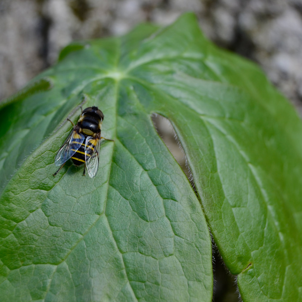 Syrphid Fly | Bellaire Woods Nature Preserve | © 2015 Jessica Allen
