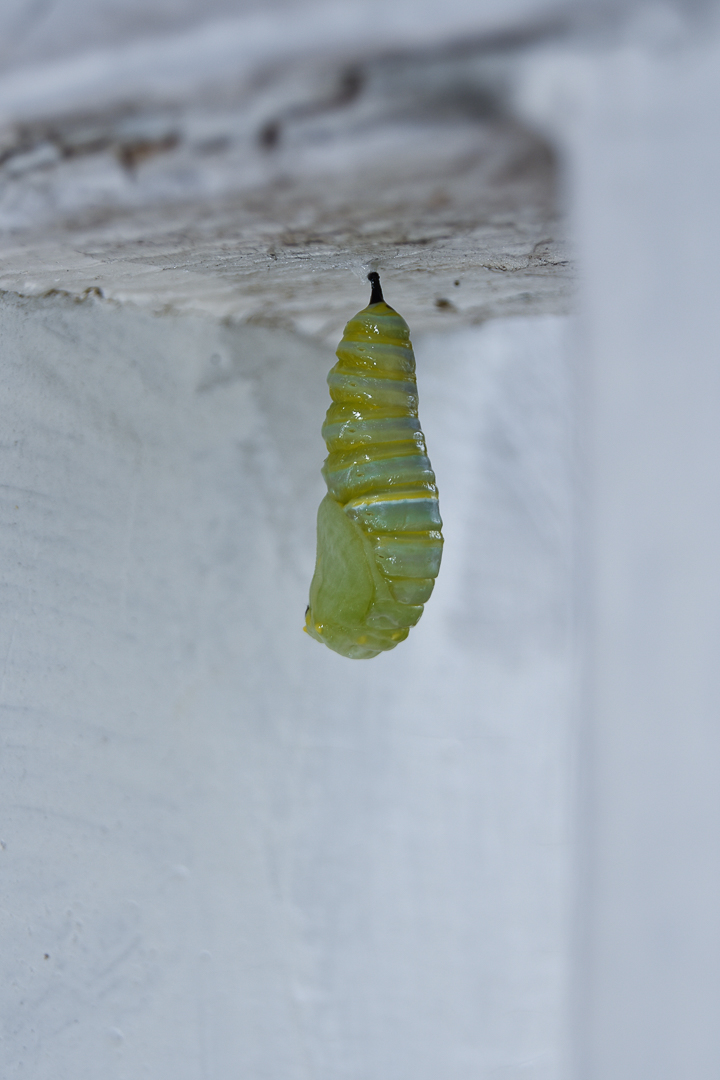 Monarch (Pupa) Chrysalis