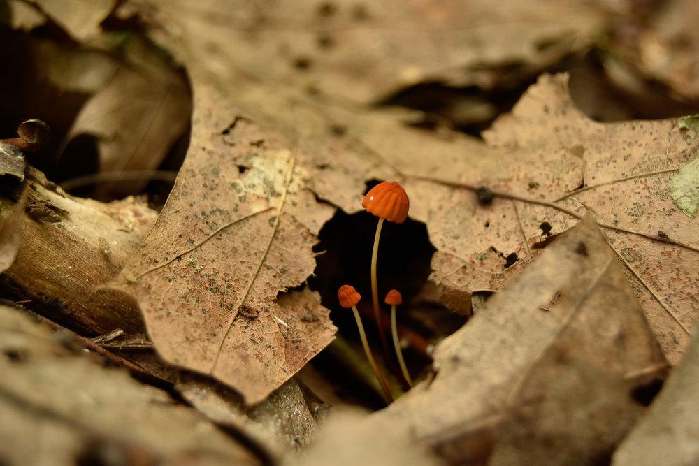 Marasmius siccusW.jpg