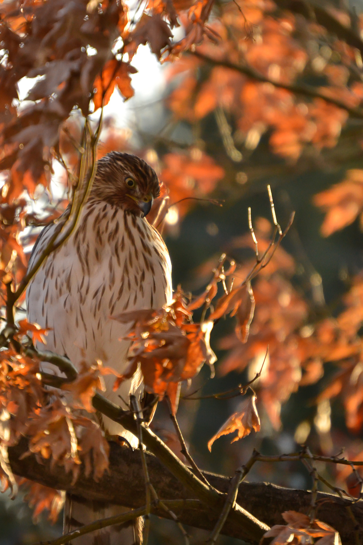 Cooper's Hawk ( Accipiter cooperii ), immature, 2018