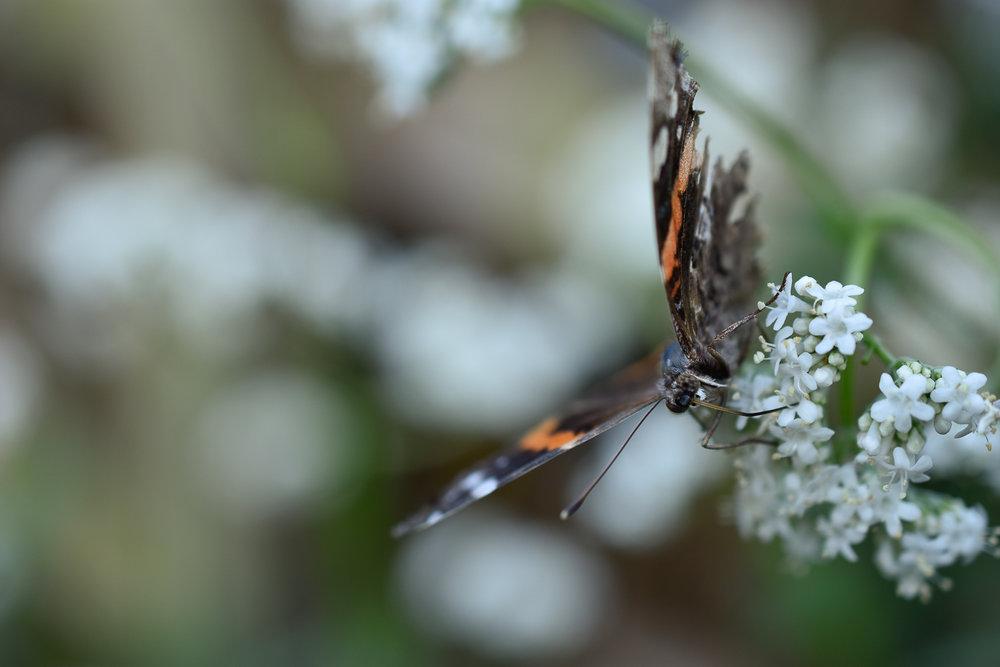Red Admiral ( Vanessa atalanta ) on garden valerian ( Valeriana officinalis )