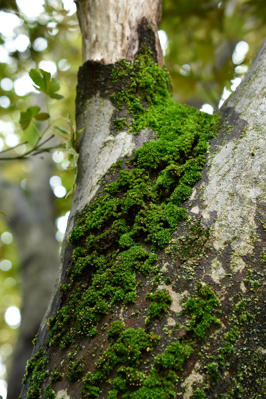 Moss ( Bryopsida ) on Japanese Maple ( Acer palmatum )