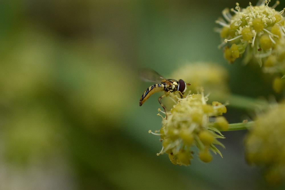 Oblique Hover Fly ( Allograpta obliqua )