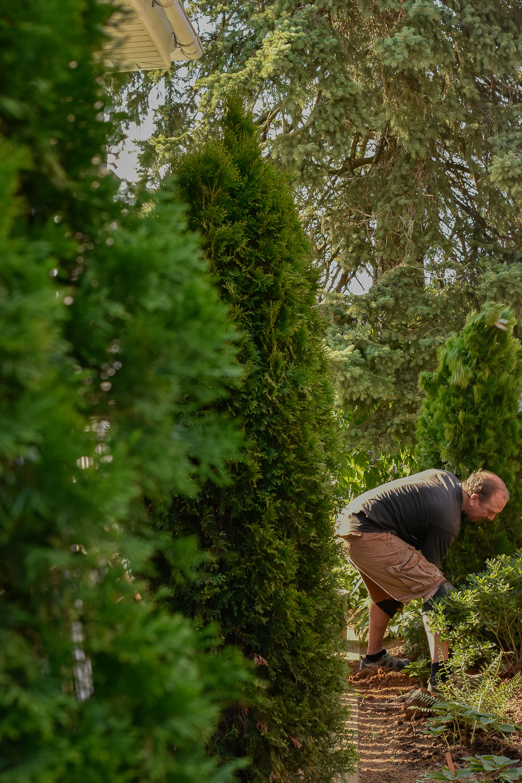 Planting a Screen of Arborvitae ( Thuja occidentalis 'Smaragd' )