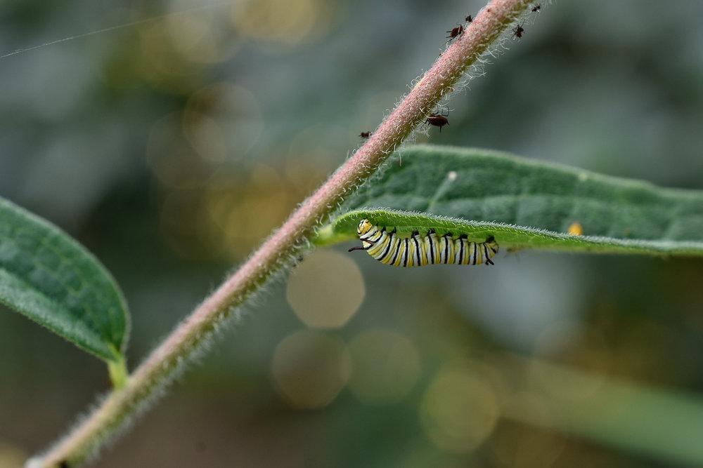 Monarch Caterpillar ( Danaus plexippus ) & Aphids on Butterfly Weed ( Asclepias tuberosa )