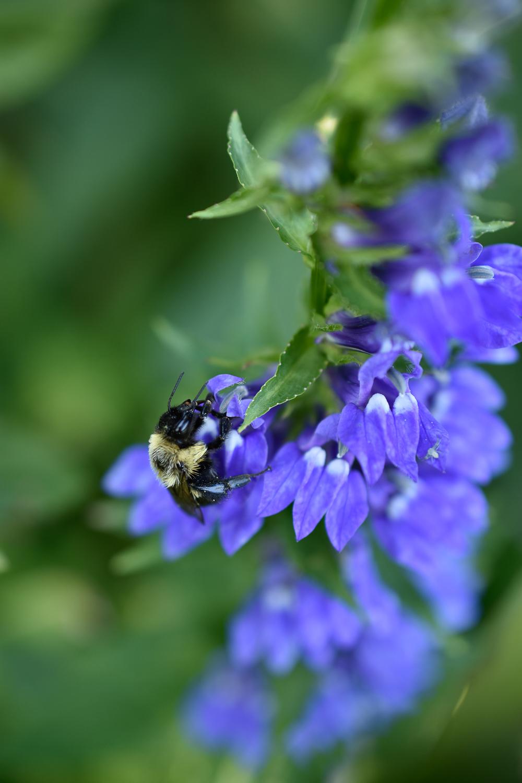 Bumblebee ( Bombus  spp.) on Cardinal Flower ( Lobelia cardinalis )
