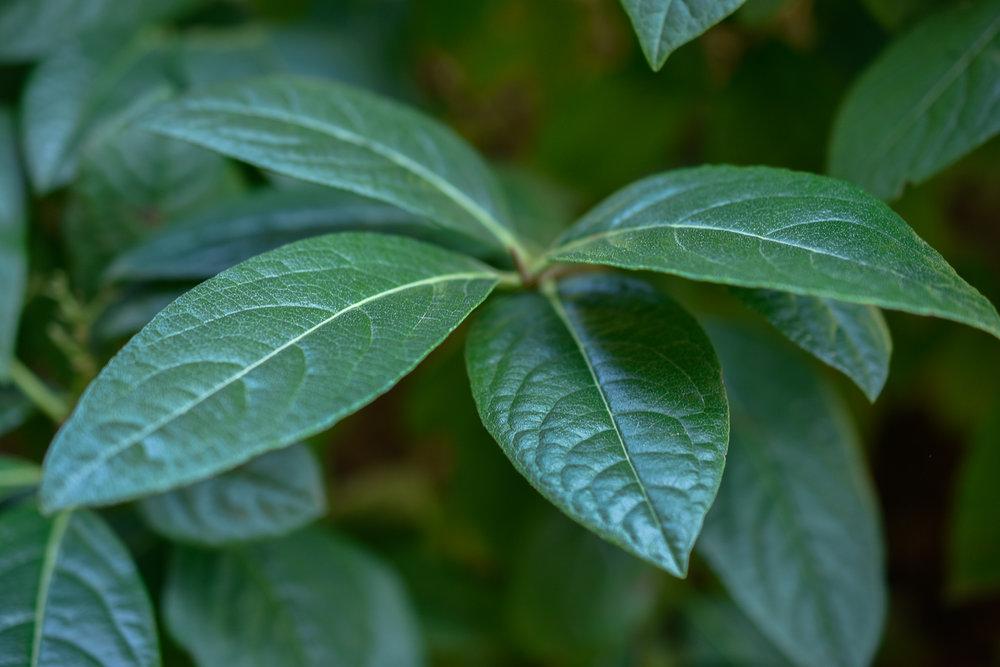 Witherod Viburnum ( Viburnum nudum  'Bulk')