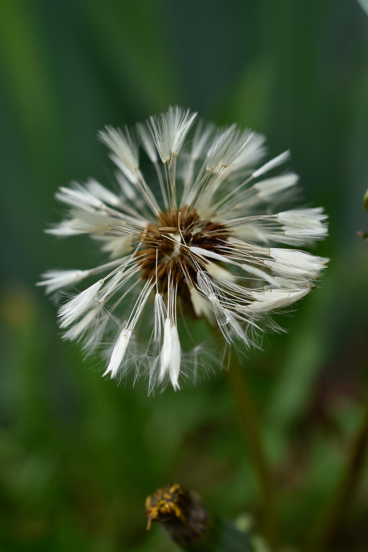 Dandelion (Taraxacum officinale)*