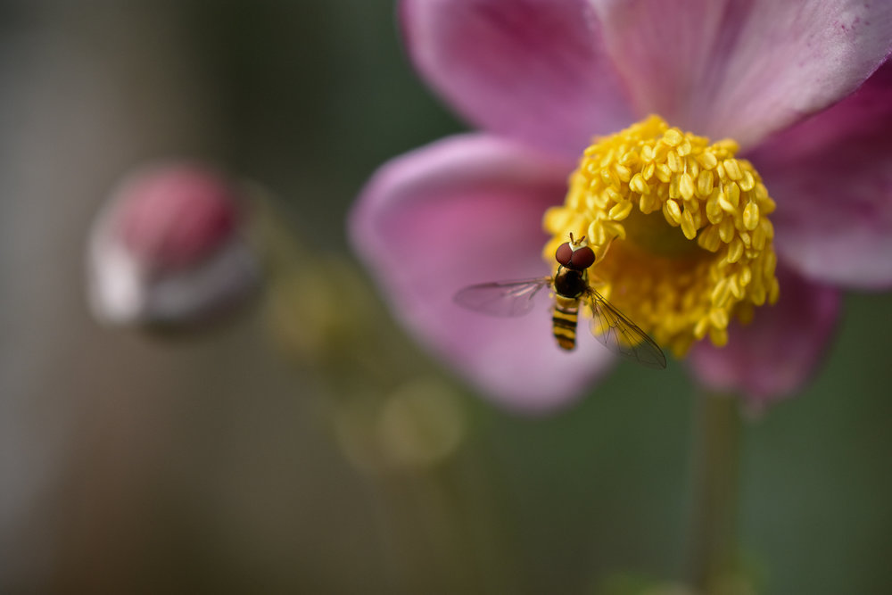 Hover Fly ( Syrphidae  spp.) & Windflower ( Anemone hupehensis )