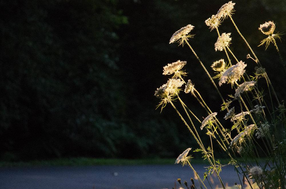 roadside flowers (1 of 1)-2 copy.jpg