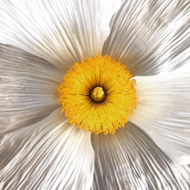 Summer is here. #californiantreepoppy #blooms #flowerlove #flowers #summer #white #nature #lukslife