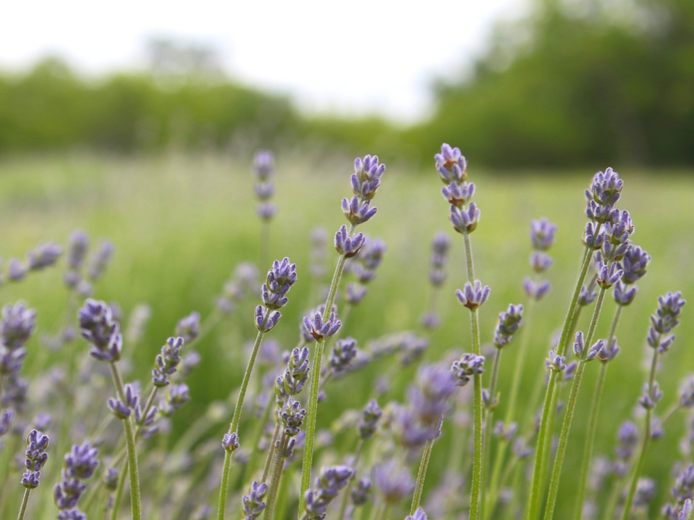 Lavender supports healthy sleep and calms the mind and spirit.